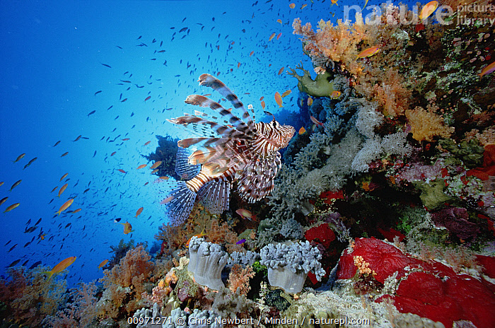 Common Lionfish (Pterois volitans) swimming over reef, 20 feet deep, Red Sea, Animal in Habitat, Animal in Landscape, Biodiversity, Close Up, Color Image, Day, Ecosystem, Fish, Full Length, Horizontal, Lionfish, Nobody, One Animal, Outdoors, Photography, Profile, Pterois volitans, Red Sea, Side View, Swimming, Underwater, Venomous, Wildlife,Common Lionfish,Red Sea, Chris Newbert
