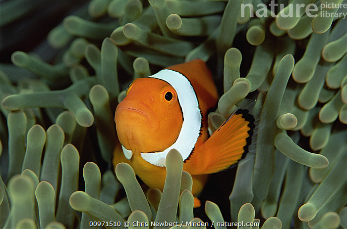 Blackfinned Clownfish (Amphiprion percula) in a Magnificent Sea Anemone (Heteractis magnifica) host, Solomon Islands, Amphiprion percula, Blackfinned Clownfish, Close Up, Clown Anemonefish, Color Image, Fish, Front View, Full Length, Heteractis magnifica, Horizontal, Host, Magnificent Sea Anemone, Mutualism, Nobody, One Animal, Orange, Photography, Sea Anemone, Solomon Islands, South Pacific, Striped, Symbiosis, Underwater, Wildlife,Blackfinned Clownfish,Magnificent Sea Anemone,Heteractis magnifica,Solomon Islands, Chris Newbert