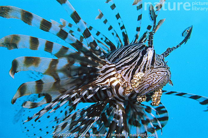 Common Lionfish (Pterois volitans), 70 feet deep, Solomon Islands  ,  Close Up, Color Image, Fish, Front View, Full Length, Horizontal, Lionfish, Nobody, One Animal, Photography, Pterois volitans, Solomon Islands, South Pacific, Striped, Swimming, Underwater, Venomous, Wildlife,Common Lionfish, , ,Solomon Islands  ,  Chris Newbert
