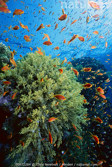 Soft Coral (Dendronephthya sp) outcroppings and Basslet (Pseudanthias sp), Red Sea, Egypt  ,  Adult, Anthias sp, Basslet, Color Image, Coral Reef, Day, Dendronephthya sp, Fish, Full Length, Large Group of Animals, Lens Flare, Nobody, Photography, Pseudanthias sp, Red Sea, Reef Fish, School, Schooling, Side View, Soft Coral, Underwater, Vertical, Wildlife,Soft Coral,Basslet,Pseudanthias sp,Egypt  ,  Chris Newbert