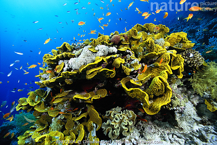 Stony Coral (Acropora sp) and baitfish, Solomon Islands, Acropora sp, Baitfish, Close Up, Color Image, Coral Reef, Coral, Day, Full Length, Horizontal, Large Group of Animals, Nobody, Photography, Solomon Islands, South Pacific, Stony Coral, Underwater, Wildlife,Stony Coral,Solomon Islands, Chris Newbert