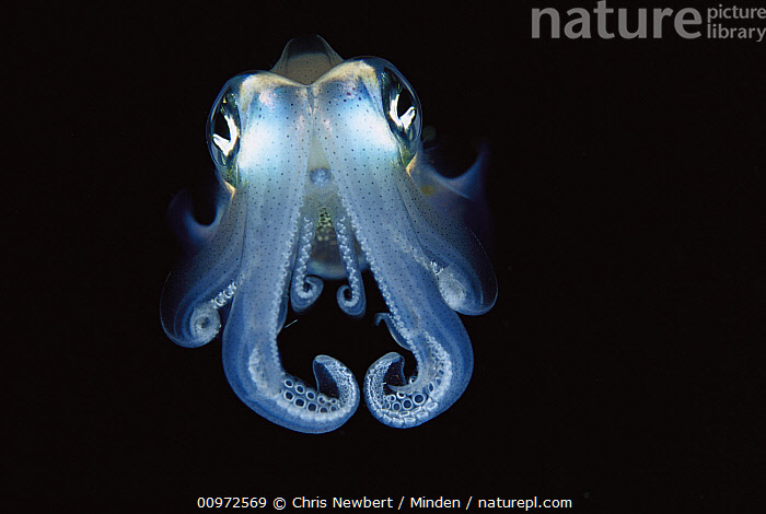 Squid (Sepioteuthis sp) portrait, front view, Papua New Guinea, Close Up, Color Image, Eye, Front View, Full Length, Horizontal, Looking at Camera, New Guinea, Nobody, One Animal, Papua New Guinea, Photography, Sepioteuthis sp, Squid, Tentacle, Underwater, Wildlife,Squid,Papua New Guinea, Chris Newbert