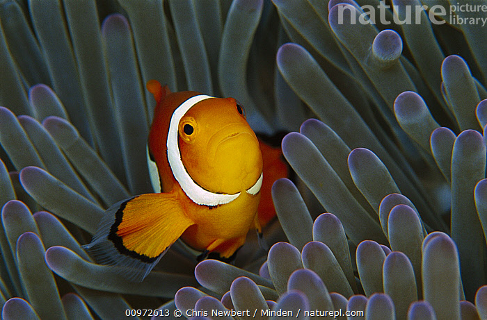 Blackfinned Clownfish (Amphiprion percula) in a Magnificent Sea Anemone (Heteractis magnifica) 40 feet deep, Solomon Islands  ,  Amphiprion percula, Anemone, Blackfinned Clownfish, Close Up, Clown Anemonefish, Color Image, Colorful, Fish, Front View, Full Length, Heteractis magnifica, Horizontal, Looking at Camera, Magnificent Sea Anemone, Mutualism, Nobody, One Animal, Photography, Sea Anemone, Solomon Islands, South Pacific, Symbiosis, Underwater, Wildlife,Blackfinned Clownfish,Magnificent Sea Anemone,Heteractis magnifica,Solomon Islands  ,  Chris Newbert