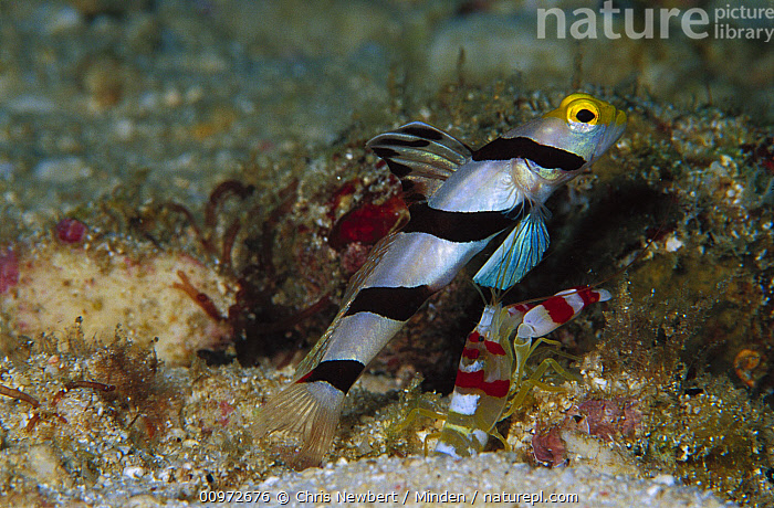 Black-rayed Shrimpgoby (Stonogobiops nematodes) with Shrimp guarding burrow, 80 feet deep, Papua New Guinea, Black-rayed Shrimpgoby, Burrow, Close Up, Color Image, Fish, Full Length, Horizontal, Mutualism, Nobody, One Animal, Photography, Profile, Shrimp, Side View, Stonogobiops nematodes, Striped, Underwater, Wildlife,Black-rayed Shrimpgoby,Papua New Guinea, Chris Newbert