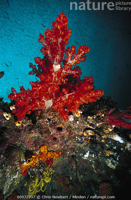 Soft Coral (Dendronephthya sp) on reef, Indonesia, Color Image, Coral Reef, Day, Dendronephthya sp, Indonesia, Outdoors, Photography, Red, Soft Coral, Underwater, Vertical, Wide-angle Lens, Wildlife,Soft Coral,Indonesia, Chris Newbert