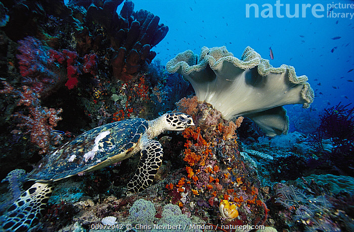 Hawksbill Sea Turtle (Eretmochelys imbricata) and Leather Coral (Sarcophyton sp) on reef, Indonesia, Adult, Animal in Habitat, Color Image, Coral Reef, Critically Endangered Species, Day, Eretmochelys imbricata, Full Length, Hawksbill Sea Turtle, Horizontal, Indonesia, Leather Coral, One Animal, Outdoors, Photography, Sarcophyton sp, Side View, Underwater, Wide-angle Lens, Wildlife,Hawksbill Sea Turtle,Leather Coral,Sarcophyton sp,Indonesia, Chris Newbert