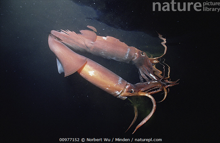 Humboldt Squid (Dosidicus gigas) reaches five feet and 50 pounds, a voracious carnivore, Sea of Cortez, Baja California, Mexico, Baja California, Close Up, Color Image, Dosidicus gigas, Foot, Full Length, Giant Squid, Horizontal, Humboldt Squid, Largest, Mexico, Nobody, Orange, Photography, Profile, Reflection, Sea of Cortez, Side View, Two Animals, Underwater, Wildlife,Humboldt Squid,Mexico, Norbert Wu