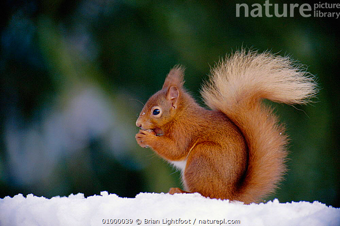 Red squirrel eating (Sciurus vulgaris) Scotland, BL,EUROPE,FEEDING,HORIZONTAL,MAMMAL,MAMMALS,ONE,PORTRAITS,PROFILE,RODENT,RODENTS,SCOTLAND,SNOW,UK,WINTER,UNITED KINGDOM,BRITISH, United Kingdom, Brian Lightfoot