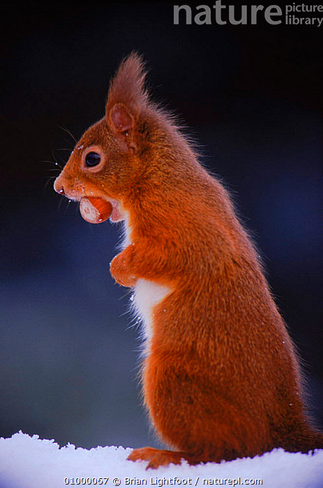 Red Squirrel {Sciurus vulgaris} with food in winter, Scotland, BL,FEEDING,MAMMAL,MAMMALS,RODENT,RODENTS,SCOTLAND,SNOW,STANDING,VERTICAL,WINTER,EUROPE,UK,United Kingdom, Brian Lightfoot