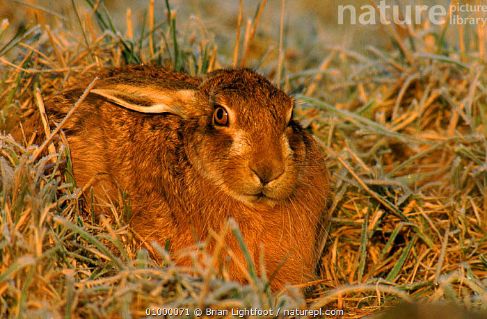 European / Brown hare resting, Scotland  ,  440892271,BL,BROWN,EUROPE,FARMLAND,HORIZONTAL,MAMMALS,OUTSTANDING,PORTRAITS,RESTING,SCOTLAND,UK,UNITED KINGDOM,BRITISH,HARES,LAGOMORPHS,GettyBOV  ,  Brian Lightfoot