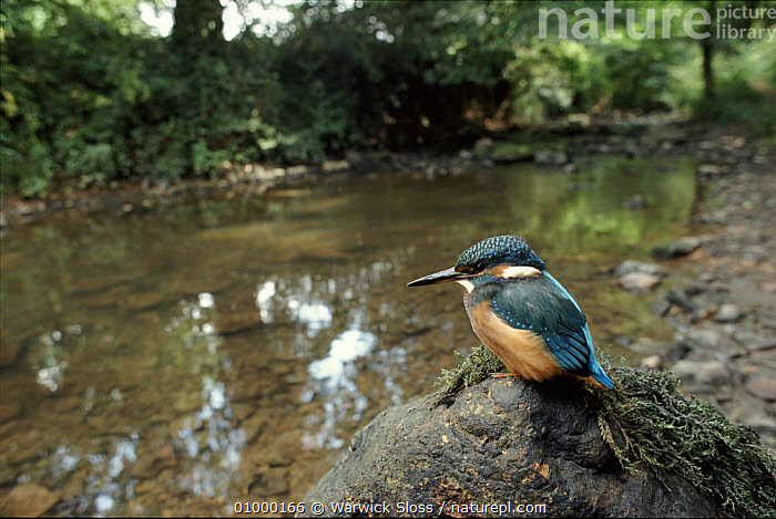 Kingfisher on river bank, Somerset, UK.  ,  BIRDS,ENGLAND,EUROPE,HORIZONTAL,KINGFISHER,LANDSCAPES,,UK,WATER,WS ,RIVERS,UNITED KINGDOM,BRITISH  ,  Warwick Sloss