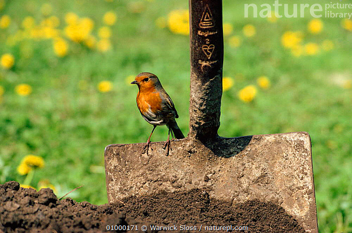 Robin {Erithacus rubecula} hunts for prey by garden spade, BIRDS,CUTE,ENGLAND,EUROPE,GARDEN,GARDENS,HORIZONTAL,HUNTS,ROBINS,AND,CHATS,SPADE,UK,URBAN,WS,UNITED KINGDOM,BRITISH, Warwick Sloss