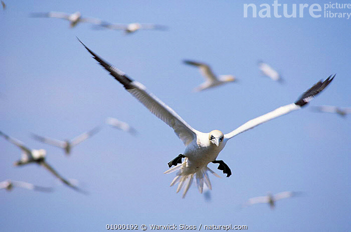 Gannets {Morus bassanus} in flight, Bass Rock, Scotland, UK., , BASS, BIRDS, COASTS, FLOCKS, FLYING, GANNETS, SCOTLAND, SEABIRDS, VERTEBRATES,Europe,UK,United Kingdom, Warwick Sloss