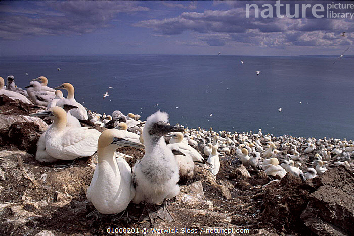 Gannets at nesting colony, Bass Rock, Scotland  ,  BASS, BIRDS, BOOBIES, COASTS, EUROPE, GANNETS, HORIZONTAL, LANDSCAPES, NESTS, REPRODUCTION, SCOTLAND, SEABIRDS, UK, VERTEBRATES,United Kingdom  ,  Warwick Sloss