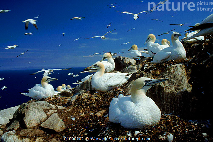 Gannet nesting colony, Bass Rock, UK, BIRDS, BOOBIES, CLIFFS, COASTS, EUROPE, GANNETS, GEOLOGY, GROUPS, HORIZONTAL, LANDSCAPES, REPRODUCTION, SCOTLAND, SEABIRDS, UK, VERTEBRATES,United Kingdom, Warwick Sloss
