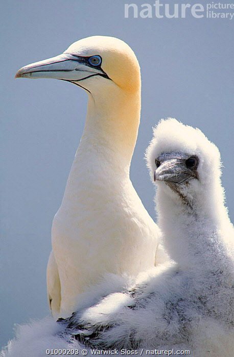 Gannet with chick, Bass Rock, UK, BIRDS, BOOBIES, COASTS, EUROPE, FAMILIES, GANNETS, JUVENILE, SCOTLAND, SEABIRDS, UK, VERTEBRATES, VERTICAL, WHITE,United Kingdom, Warwick Sloss