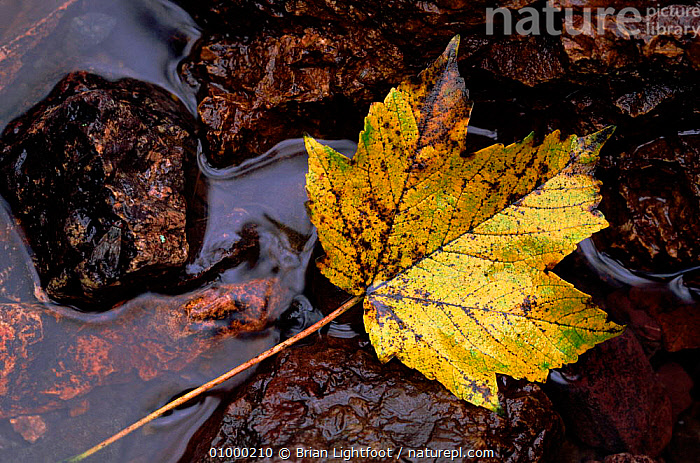 Sycamore leaf (Acer pseudoplatanus). Scotland, UK, Europe, ARTY SHOTS,AUTUMN,EUROPE,HORIZONTAL,LEAF,SCOTLAND,TREES,UK,WATER,YELLOW,UNITED KINGDOM,PLANTS,BRITISH, Brian Lightfoot