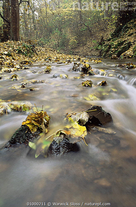 Stream with fallen autumn leaves,Hermitage of Braid, Edinburgh, UK, ARTY SHOTS,AUTUMN,FRESHWATER,LEAVES,MIXED WOOD,RIVERS,UK,WATER,Europe,United Kingdom,British, Warwick Sloss