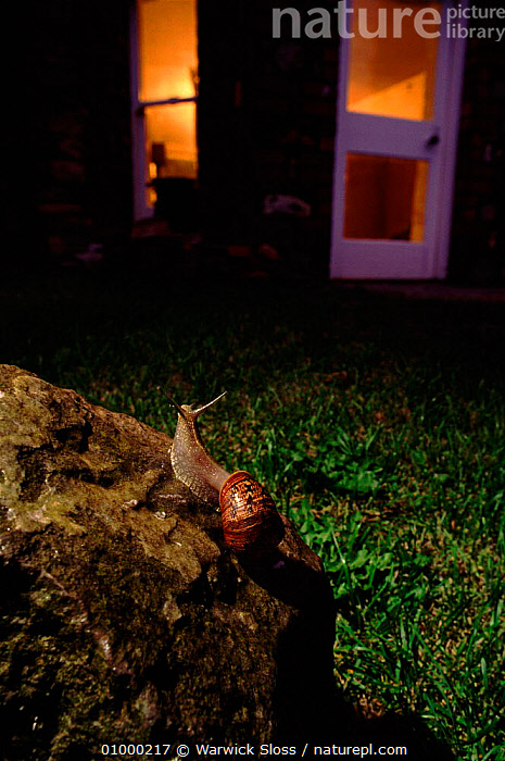 Common snail (Helix aspersa) in urban garden at night, UK  ,  BUILDINGS,GARDEN,GARDENS,HOUSE,NIGHT,SNAIL,UK,URBAN,,VERTICAL,WS,EUROPE,UNITED KINGDOM,BRITISH  ,  Warwick Sloss