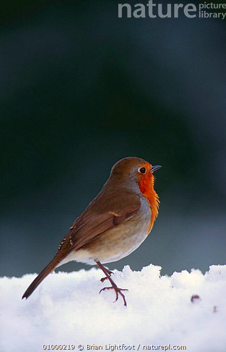 Robin (Erithacus rubecula) in snow. Scotland, BIRDS,BLAIRGOWRIE,SNOW,UK,VERTICAL,WINTER,Europe,United Kingdom,British, Brian Lightfoot