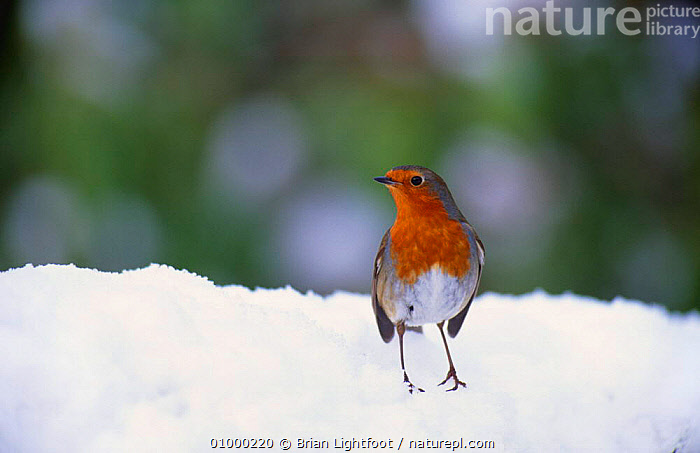 Robin (Erithacus rubecula) in snow, Scotland, BLAIRGOWRIE,UK,WINTER,Europe,United Kingdom,British, Brian Lightfoot