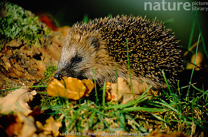 Hedgehog (Erinaceus europaeus) foraging for food. Scotland, FOOD,HEDGEHOGS,INSECTIVORES,MAMMALS,PORTRAITS,UK,Europe,United Kingdom,British, United Kingdom, Brian Lightfoot
