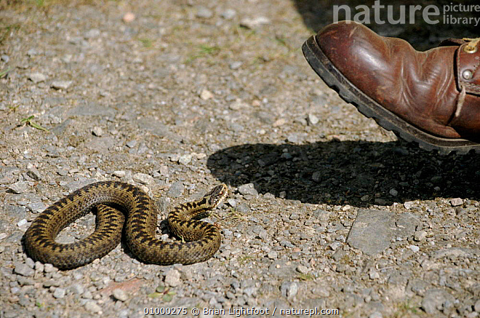 Adder about to be trodden on, Scotland, UK, BL,BOOT,CRUELTY,EUROPE,HORIZONTAL,PEOPLE,PERSECUTION,SCOTLAND,SNAKE,UK,UNITED KINGDOM,BRITISH,SNAKES, ADDERS, Brian Lightfoot