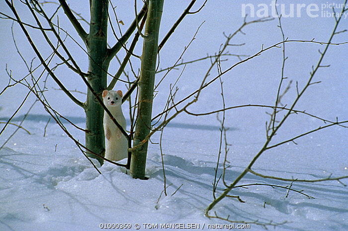 Stoat {Mustela erminea} in snow, USA, CARNIVORES,MAMMALS,MUSTELIDS,north america,USA,VERTEBRATES,WEASELS,WHITE,WINTER, TOM MANGELSEN