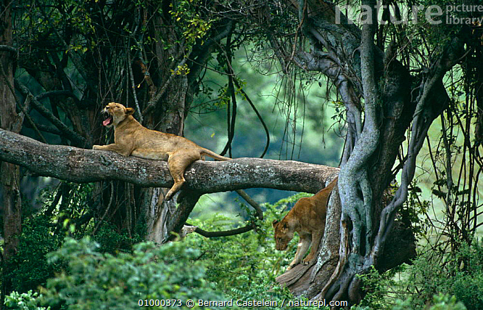 African lionesses (Panthera leo) resting in tree. Ngorongoro NP, Tanzania  ,  BEHAVIOUR,BIG CATS,CARNIVORES,CATS,CLIMBING,EAST AFRICA,FEMALES,LION,LIONS,MAMMALS,TREES,TWO,VERTEBRATES,YAWNING,Africa,Plants,Catalogue1  ,  Bernard Castelein