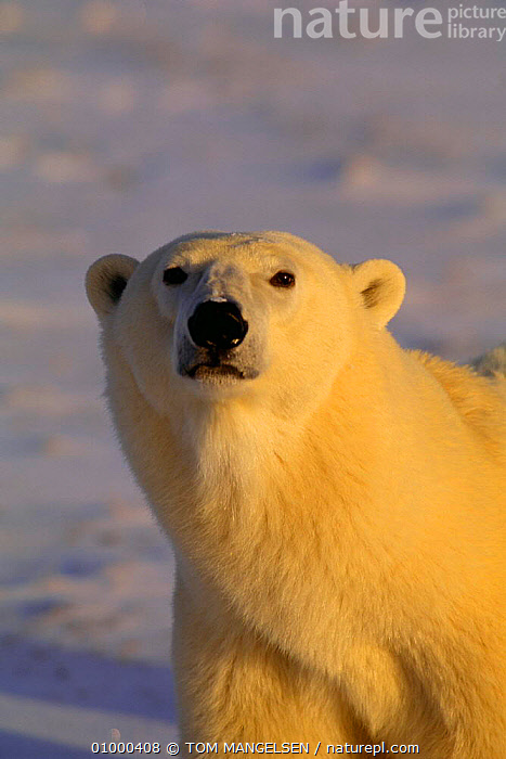 Polar bear head portrait (Ursus maritimus) Hudson Bay, Canada  ,  ARCTIC,BEARS,CARNIVORES,FACES,HEADS,MAMMALS,WHITE,CHURCHILL,MANITOBA,PORTRAITS  ,  TOM MANGELSEN