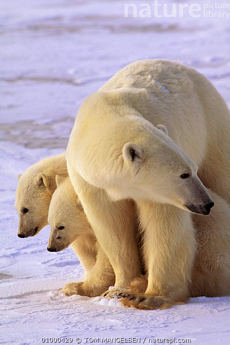 Polar bear mother with cubs Hudson Bay, Canada., VERTICAL,WHITE,MAMMALS,OUTSTANDING,FAMILIES,CARNIVORES,CANADA,BEARS,NORTH AMERICA, TOM MANGELSEN