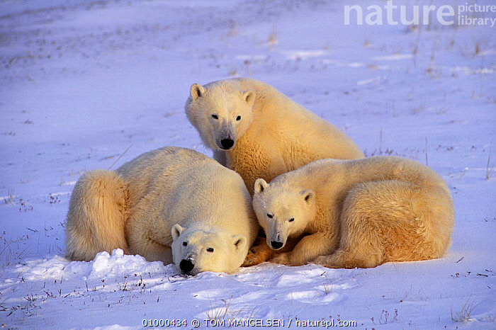 Polar bear mother and cubs Hudson Bay, Canada.  ,  MAMMALS,SNOW,FAMILIES,CARNIVORES,CANADA,ARCTIC,BEARS,NORTH AMERICA  ,  TOM MANGELSEN