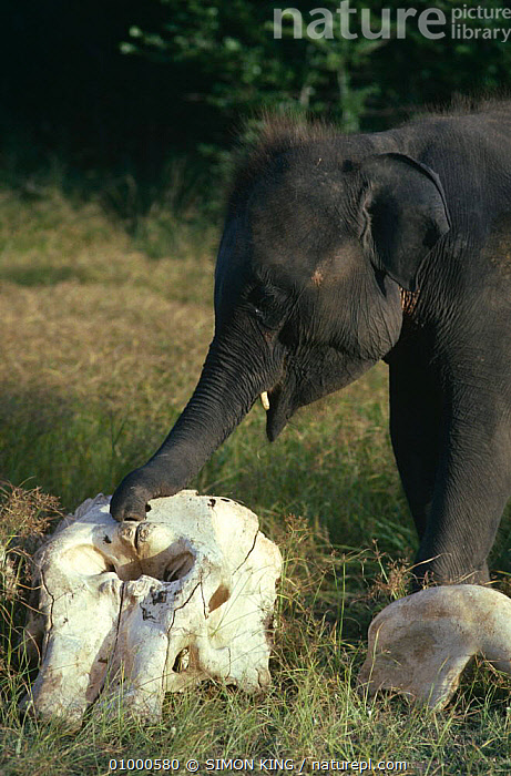 Young Indian elephant {Elephas maximus} investigating old skull bones of dead elephant, Sri Lanka  ,  BABIES,BEHAVIOUR,BONES,DEAD,DEATH,ELEPHANTS,ENDANGERED,INDIAN SUBCONTINENT,INTELLIGENCE,JUVENILE,MAMMALS,PROBOSCIDS,SKULL,VERTEBRATES,VERTICAL,YOUNG,Asia  ,  SIMON KING