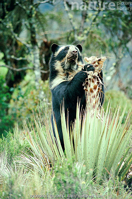 Spectacled bear (Tremarctos ornatus) eating puya plant, South America  ,  BEARS,CARNIVORES,MAMMALS,FEEDING,ONE,SOUTH AMERICA  ,  JIM CLARE