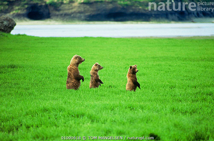 Alaskan brown bear mother and cubs standing in long grass {Ursus arctos} Hudson Bay, Canada, BEARS,CANADA,CARNIVORES,HORIZONTAL,MAMMALS,RIVERS,STANDING,THREE,VERTEBRATES,North America, TOM MANGELSEN