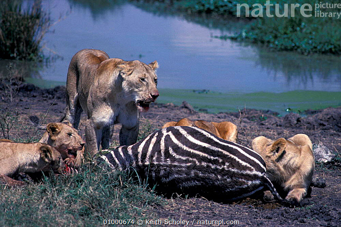 Lions {Panthera leo} at zebra kill, Masai Mara, Kenya, CATS,EAST AFRICA,FEEDING,MAMMALS,PREDATION,Africa,Behaviour,Lions,Big Cats, Keith Scholey