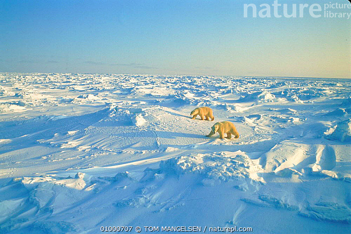 Polar bears, Canadian Arctic, ARCTIC,BEARS,CAMOUFLAGE,CANADA,CARNIVORES,HORIZONTAL,LANDSCAPES,NORTH AMERICA,OUTSTANDING,SNOW,TM,TWO,WHITE , PLANET EARTH, TOM MANGELSEN