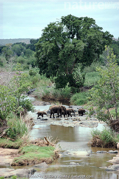 African elephant family group crossing river. Kruger National Park, South Africa  ,  AFRICA,FAMILIES,KRUGER,MAMMALS,NP,PROBOSCIDS,RESERVE,RIVERS,SOUTHERN AFRICA,TH,VERTICAL,WATER,NATIONAL PARK,ELEPHANTS  ,  Tony Heald