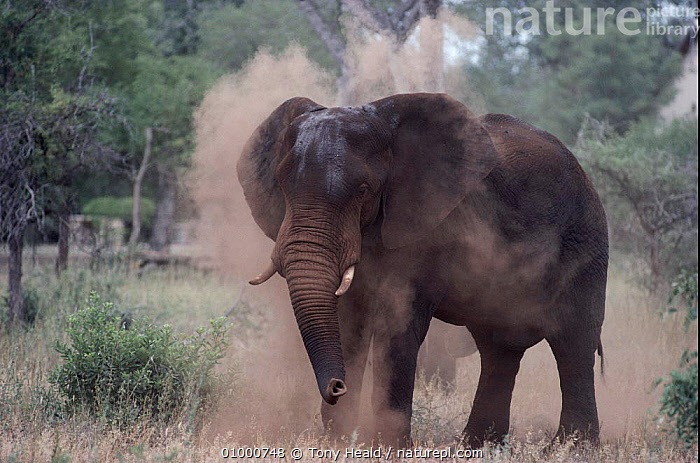 African elephant dust bathing Kruger NP, South Africa (F216), 440896110,AFRICA,BATHING,DUST,ELEPHANTS,F216,GRASSLAND,GROOMING,KRUGER,MAMMALS,NATIONAL PARK,NP,PROBOSCIDS,SOUTH,SOUTHERN AFRICA,TH,VELDT, Tony Heald