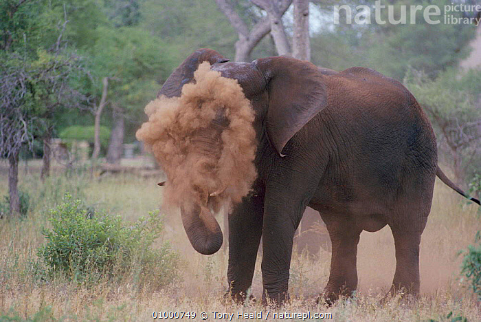 African elephant dust bathing Kruger N P, South Africa, ELEPHANTS,GROOMING,HUMOROUS,MAMMALS,PROBOSCIDS,SOUTHERN AFRICA,VELDT,Grassland,Concepts,Catalogue1, Tony Heald
