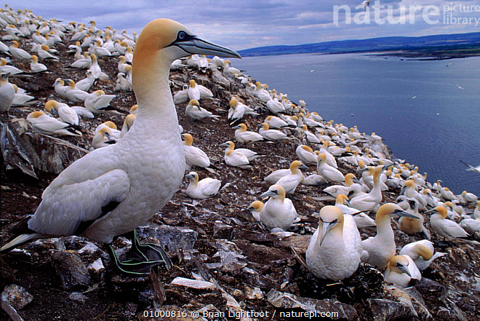 Gannet nesting colony on Bass Rock, UK, BASS, BIRDS, BOOBIES, COASTS, EUROPE, GANNETS, GROUPS, HORIZONTAL, LANDSCAPES, REPRODUCTION, SCOTLAND, SEABIRDS, UK, VERTEBRATES,United Kingdom, Brian Lightfoot