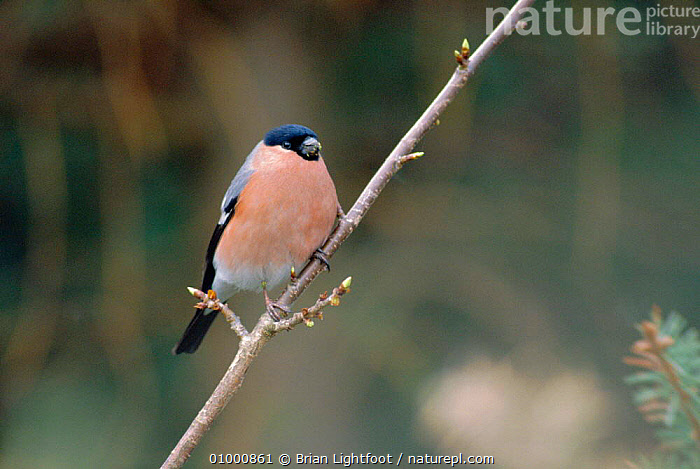 Male bullfinch feeding on buds of wild cherry. Scotland.  ,  BIRD,BIRDS,BL,EUROPE,FEEDING,MALES,ONE,SCOTLAND,UK,UNITED KINGDOM,BRITISH  ,  Brian Lightfoot