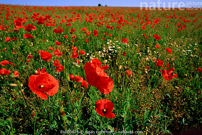 Poppies flowering in field (Papaver rhoeas) Scotland  ,  BL,EUROPE,FARMLAND,FLOWERS,HORIZONTAL,RED,SCOTLAND,UK,UNITED KINGDOM,BRITISH  ,  Brian Lightfoot