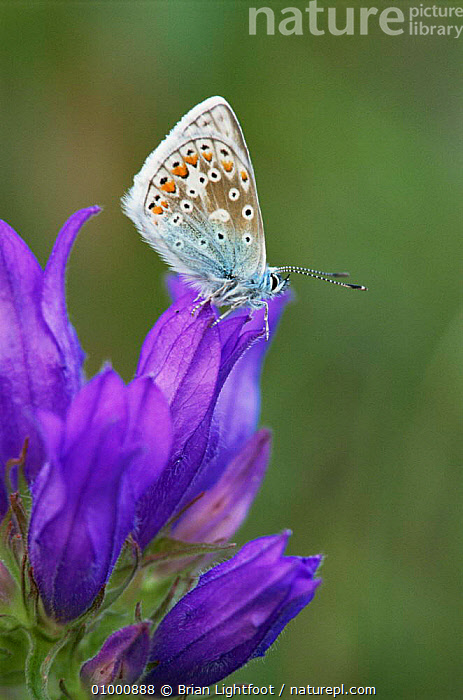 Common blue butterfly (Polyommatus icarus) on bellflower. Scotland, ARTHROPODS,BLUE,BUTTERFLIES,INSECTS,INVERTEBRATES,LEPIDOPTERA,SCOTLAND,UK,VERTICAL,Europe,United Kingdom,British, Brian Lightfoot