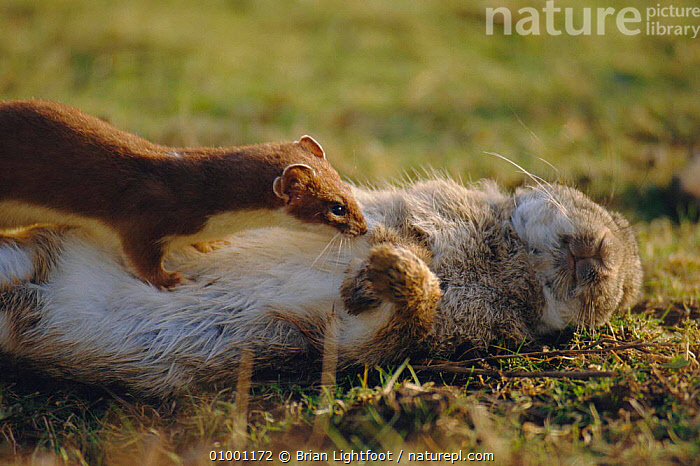 Stoat (Mustela erminea) with rabbit prey  ,  CARNIVORES,ERMINE,MAMMALS,PREDATION,SCOTLAND,WEASELS,Europe,Behaviour,Mustelids  ,  Brian Lightfoot