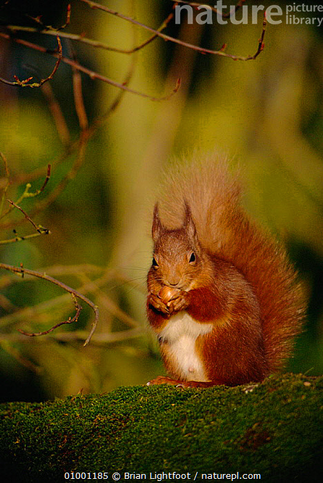 Red squirrel (Sciurus vulgaris) with nut, Scotland  ,  BL,BRITISH,EUROPE,FEEDING,MAMMALS,ONE,PORTRAITS,RODENTS,SCOTLAND,UK,VERTICAL,WILDLIFE,UNITED KINGDOM  ,  Brian Lightfoot