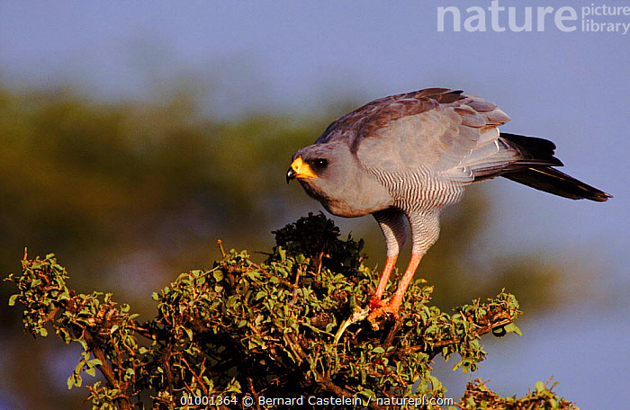 Pale chanting goshawk in tree, Samburu, Kenya, AFRICA,BC,,BIRDS,EAST AFRICA,HORIZONTAL,KENYA,RESERVE,SAMBURU,TREE ,BIRDS OF PREY,HAWKS, Bernard Castelein