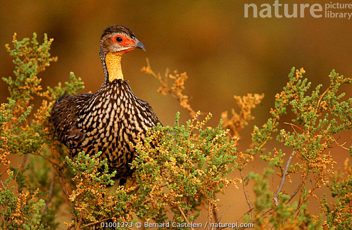 Yellow necked spurfowl, Samburu, Kenya, , AFRICA, BIRDS, GALLIFORMES, GAME-BIRDS, HORIZONTAL, PARTRIDGE, RESERVE, VERTEBRATES, Bernard Castelein