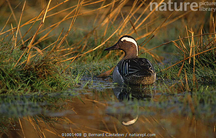 Garganey duck (Anas querquedula) on flooded meadow, Belgium, BELGIUM,BIRDS,duck,DUCKS,EUROPE,VERTEBRATES,WATERFOWL, Bernard Castelein