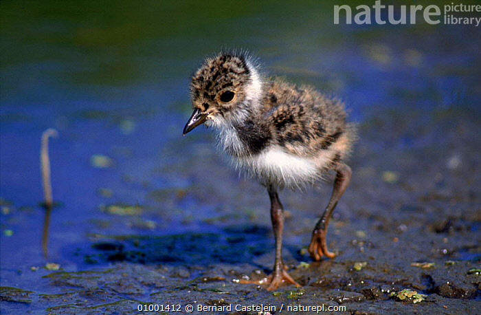 Young lapwing chick, Belgium, BABIES,BC,BELGIUM,BIRDS,CUTE,EUROPE,HORIZONTAL,JUVENILE,VERTICAL,WADERS,WATER,YOUNG,PLOVERS, Waders, Bernard Castelein